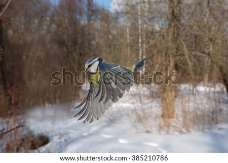 Flying Blue Tit (Parus caeruleus) in winter forest. Moscow region, Russia - stock photo
