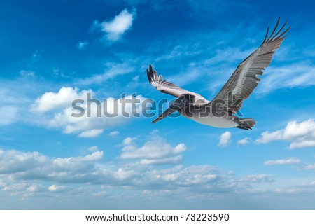 Flying brown pelican isolated on white background - stock photo