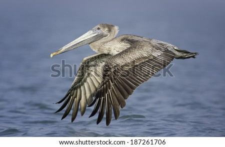 Flying Brown Pelican (Pelecanus occidentalis) - stock photo