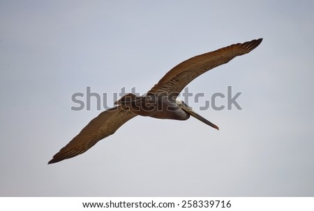 Flying brown pelican with full wing span.