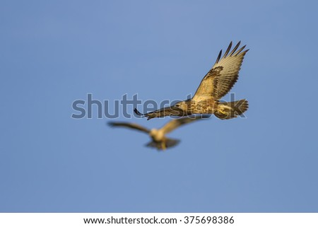 flying buzzard Long legged Buzzard / Buteo rufinus  - stock photo
