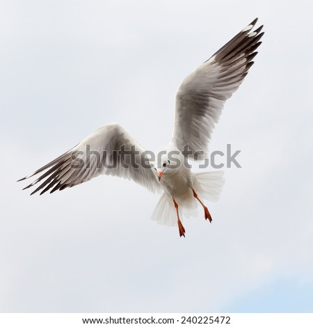 Flying common seagull.