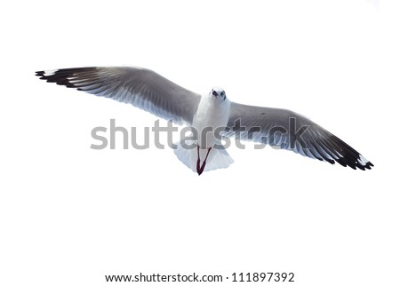 flying common seagull isolated on white background - stock photo