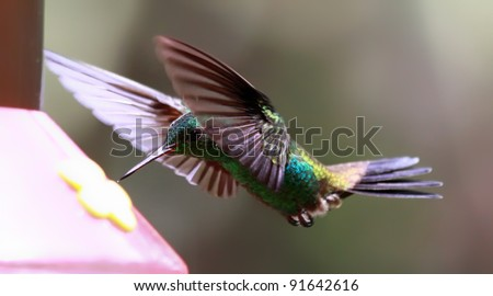 Flying Copper-rumped Hummingbird (Amazilia tobaci) at a Feeder (Tobago) - stock photo