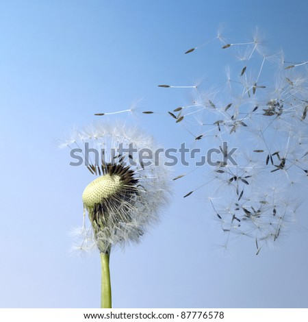 flying dandelion seeds in blue back