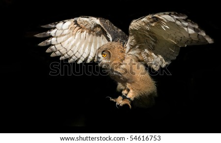 flying eagle-owl - stock photo