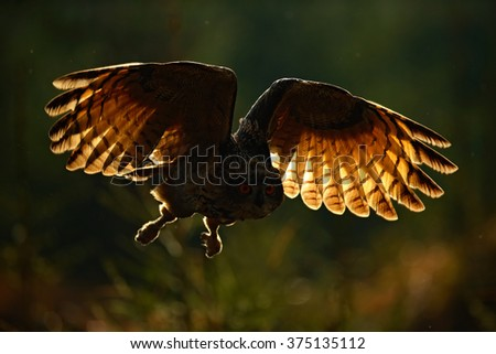 Flying Eagle Owl, Eagle owl with open wings. Owl in forest habitat. Eagle owl photo with back light. Owl action scene in the forest, Eagle owl dark morning with light. Bird Eagle owl from Germany - stock photo