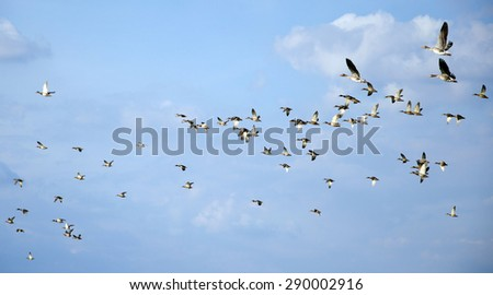 Flying flock of mallards in the sky. Wild ducks during autumn migration.