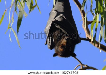 Flying fox fruit bat population in hervey bay queensalnd australia - stock photo