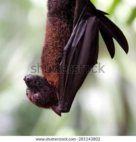 Flying Fox Hanging on Tree - stock photo