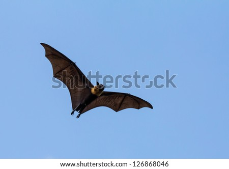 Flying fox on blue sky - stock photo