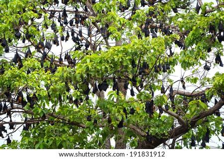 Flying fox on tree. - stock photo