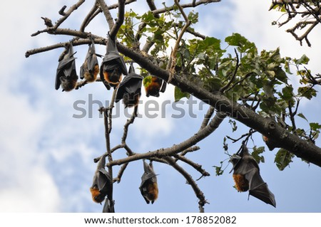 Flying foxes hang in a tree, Botanical Gardens of Sydney - stock photo