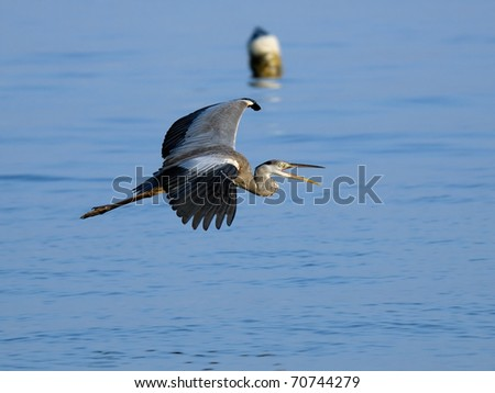Flying Grey Heron and buoy/Many egrets and herons find their place in the Gulf ports. - stock photo