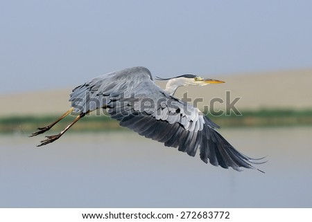 Flying Grey Heron (Ardea cinerea) on Manych lake, Kalmykia, Russia  - stock photo
