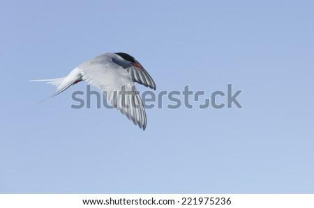 Flying gulls in blue sky, Iceland - stock photo