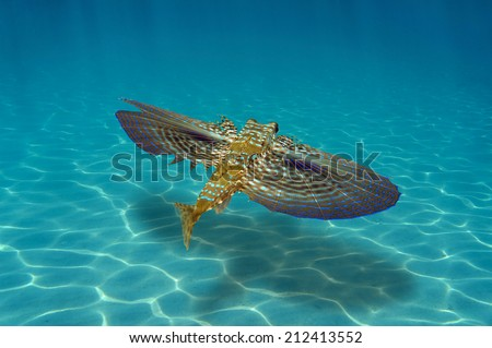 Flying Gurnard fish underwater swims over sandy seabed with sunlight - stock photo