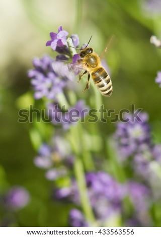 Flying honeybee on lavender flower macro closeup - stock photo