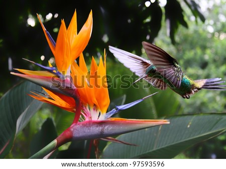 Flying Hummingbird at a Strelitzia flower - stock photo