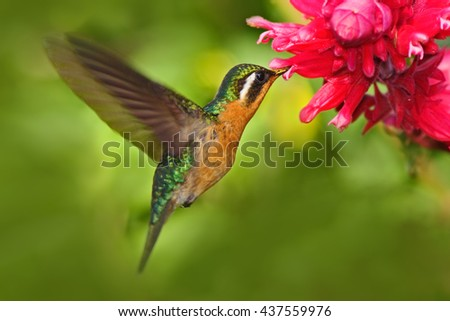 Flying hummingbird. Orange and green small bird from mountain cloud forest in Costa Rica. Purple-throated Mountain-gem with red flower, hummingbird from Costa Rica. Hummingbird in the forest. - stock photo