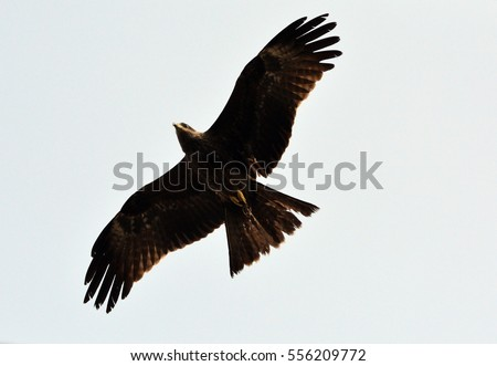 Flying Indian Eagle in actions