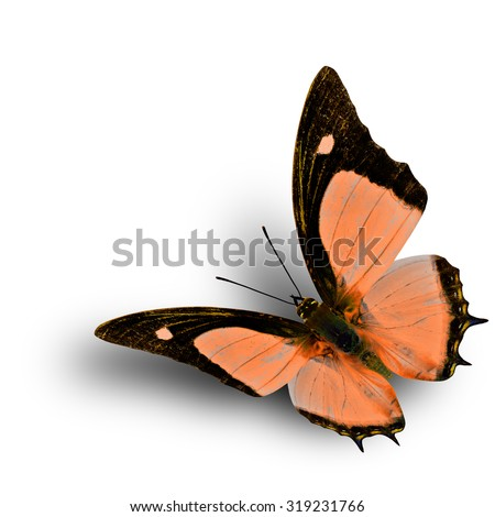 Flying Indian Nawab butterfly in fancy orange color profile on white background with soft shadow beneath - stock photo