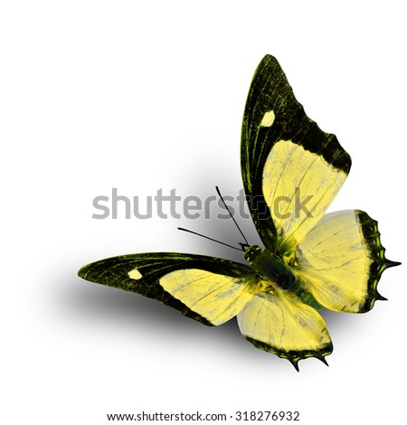 Flying Indian Nawab butterfly in fancy yellow color profile on white background with soft shadow beneath - stock photo
