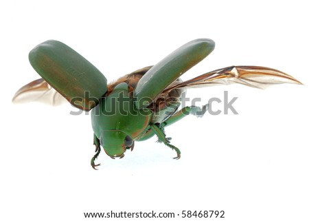 flying insect green beetle (Anomala cupripes) isolated on white background - stock photo