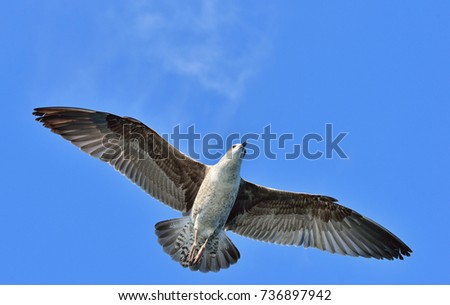 Flying Juvenile Kelp gull (Larus dominicanus), also known as the Dominican gull and Black Backed Kelp Gull. Blue sky background. False Bay, South Africa