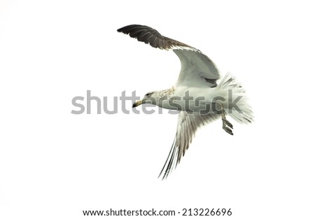 Flying kelp gull (Larus dominicanus), also known as the Dominican gul and Black Backed Kelp Gull. False Bay, South Africa . Bird isolated on white background  - stock photo