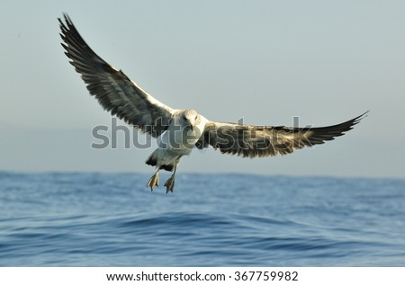 Flying kelp gull (Larus dominicanus), also known as the Dominican gull and Black Backed Kelp Gull. False Bay, South Africa  - stock photo