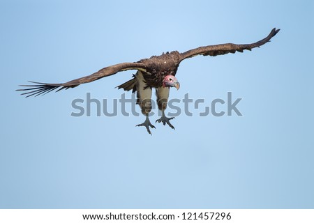 Flying Lappet-faced Vulture at blue sky (Aegypius tracheliotus) - stock photo