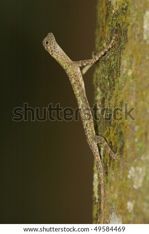 Flying Lizard on a tree trunk in the Borneo Rainforest - stock photo