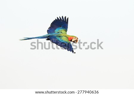 flying macaw,beautiful bird - stock photo