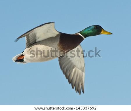 Flying Mallard Duck - stock photo