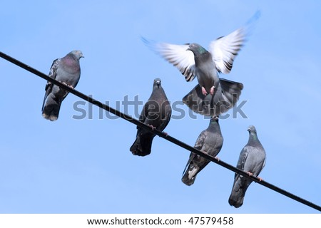 Flying pigeon tries to sit on the wire - stock photo