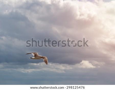 Flying seagull over sunset sky. - stock photo