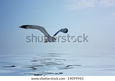 Flying seagull with water reflection - stock photo