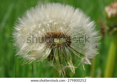 Flying seeds of the dandelion flower - stock photo
