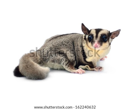 Flying squirrel, Sugarglider isolated on white - stock photo
