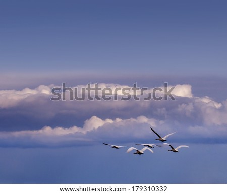 flying swans in the sky - stock photo