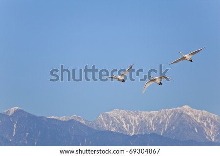 flying the swan - stock photo