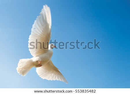 Flying white dove in blue sky