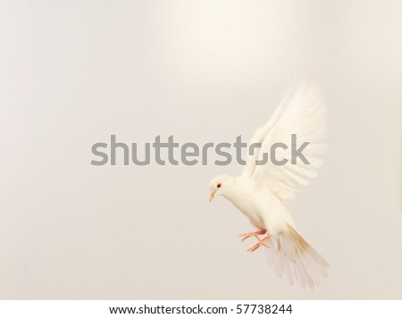 flying white dove isolated on white - stock photo