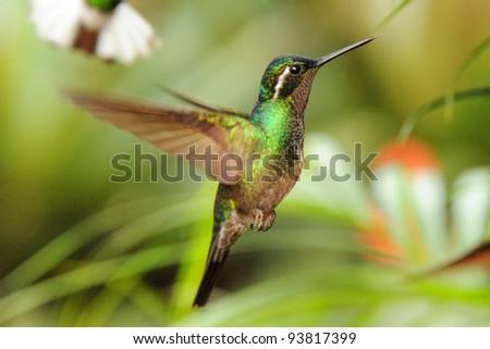 Flying White-eared Hummingbird, Costa Rica - stock photo
