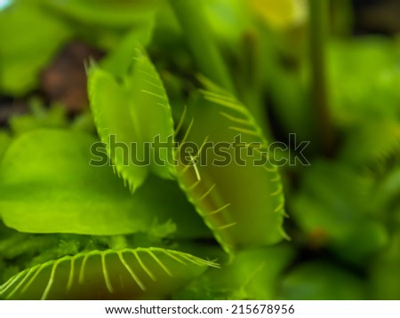 Flytrap, Dionaea muscipula, United States, North Carolina, South Carolina