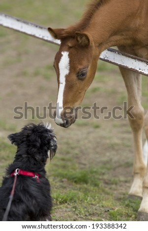 Foal and dog smelling each other on ranch - stock photo