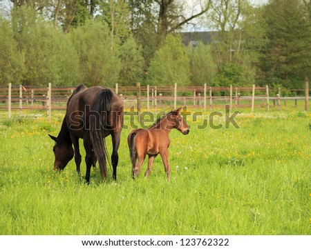 Foal and its mother in a field - stock photo
