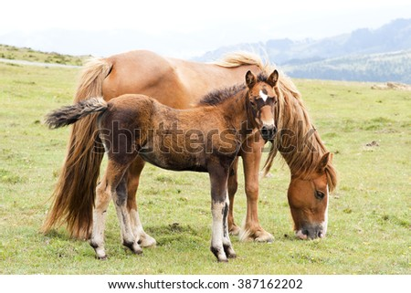 foal and mare browns horses  in green mountains  of Cape Ortegal, Galicia, Spain - stock photo