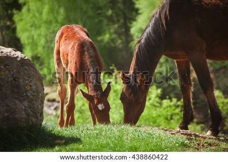 foal and mother horse grazing    - stock photo